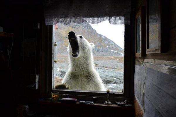 Niedźwiedź polarny zaglądający w okno Wrocławskiej Stacji Polarnej im. Stanisława Baranowskiego na Spitsbergenie
