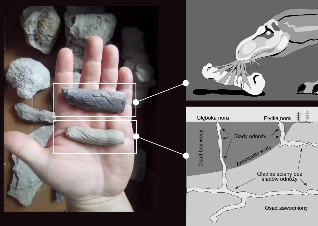 Po lewej stronie dwa skamieniałe obiekty na dłoni, po prawej wizualizacja dinozaura pożerającego kość oraz obszar wody i lądu z widocznymi głęboką i płytką norą, na ściankach których zwierzęta pozostawiły ślady swoich odnóży