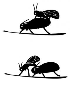 Grafika przedstawiająca kopulację mszyc oraz oznaczanie samicy przez samca
