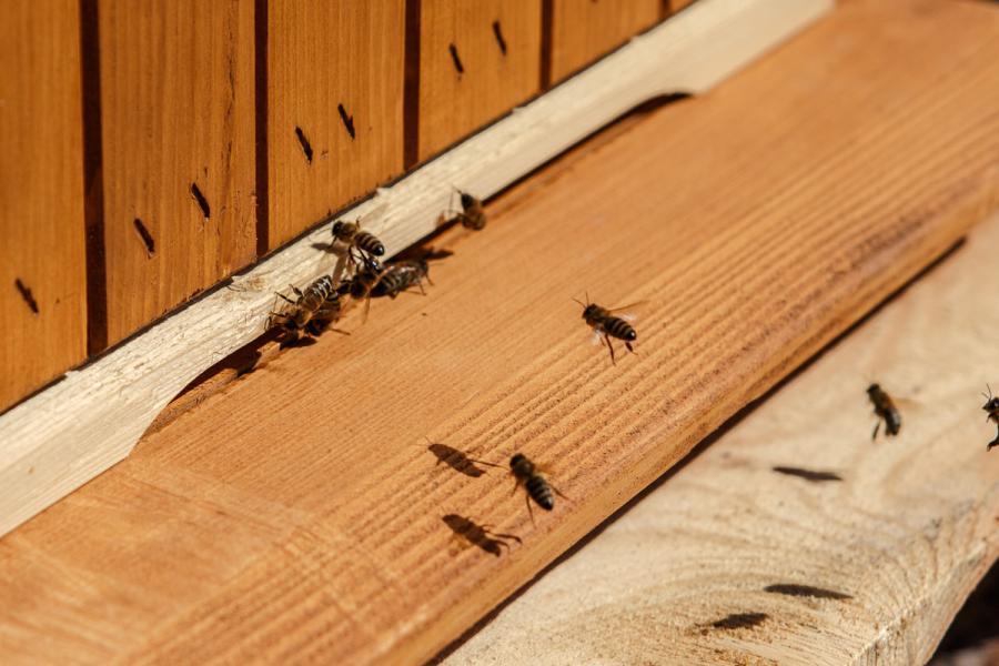Pszczoły przy wylotku ula w uniwersyteckiej pasiece fot. Agnieszka Szymala