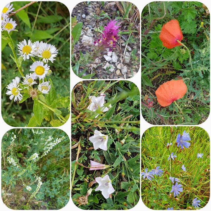 Sześć zdjęć roślin występujących w Polsce: przymiotno białe, pszeniec zwyczajny, mak, nostrzyk biały, powój polny oraz cykoria podróżnik.