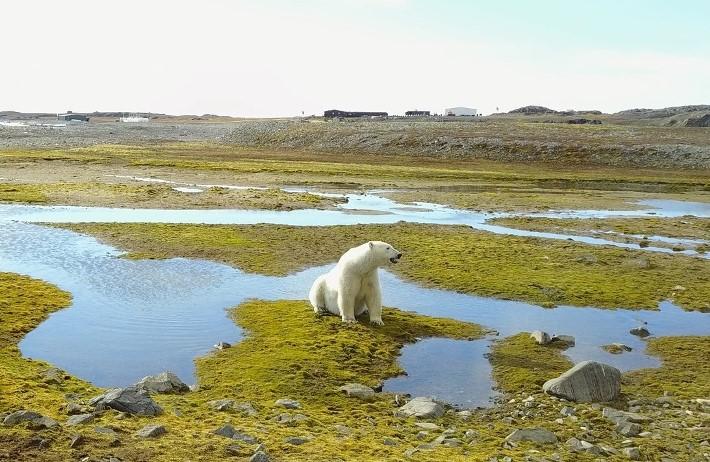 Niedźwiedź polarny (Ursus maritimus) w okolicy Polskiej Stacji Polarnej Hornsund na Spitsbergenie